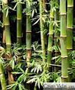 Oro Verde: El bambú, alternativa en Cuba