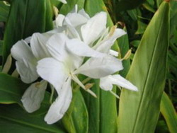 Flor Nacional: La Mariposa
